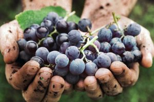 Social responsibility and corporate culture: The Italian wine cooperation looks to the future