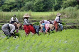 Commissione Ue: tornano i dazi sulle importazioni di riso da Cambogia e Myanmar