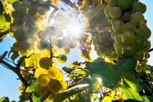 The impact of climate change on viticulture: Italy has many opportunities ahead to seize