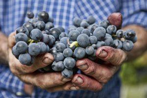 I vitigni resistenti, una risposta alle malattie della vite, con un occhio all'ambiente