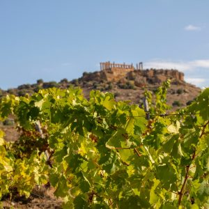 Under the Tempio di Giunone, the most evocative grape harvest in the heart of the Valle dei Templi