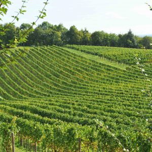"Wine, the success of the ""whites"": in 2019, Pinot Grigio delle Venezie at +34%, Lugana at +27%"