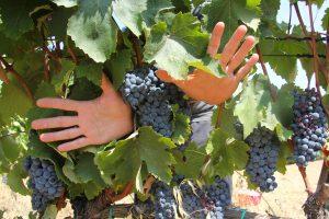 Dall'Alto Adige alla Sicilia, l'uva è in cantina: le parole di produttori ed enologi