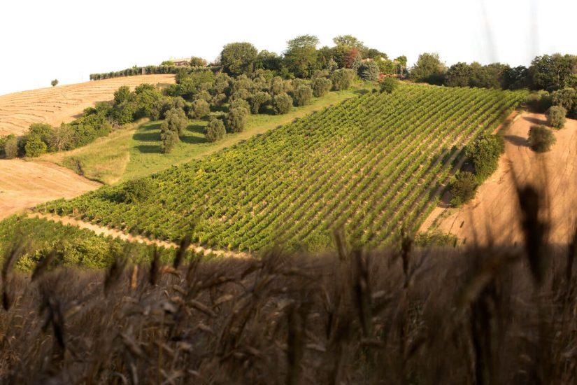 MARCHE, ORIGINI E STORIA, VERDICCHIO, Su i Quaderni di WineNews