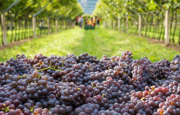 GALLO, PINOT GRIGIO DELLE VENEZIE, RUFFINO, vino, WINE INTELLIGENCE, Italia