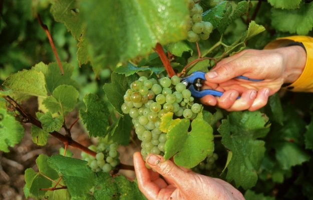 CHAMPAGNE, HARVEST, News