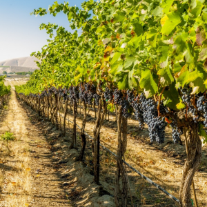 From the OIV General Assembly, 18 resolutions for sustainability in the vineyard and winery