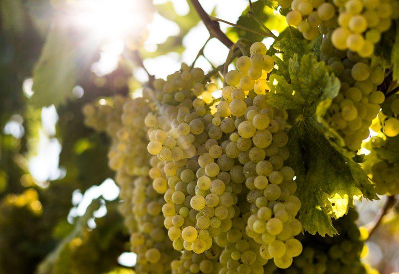 MARCHE, VERDICCHI0, Su i Quaderni di WineNews