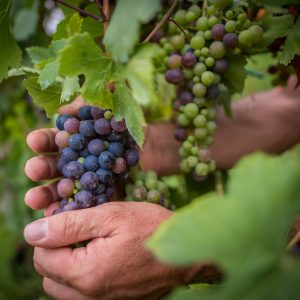 Towards the harvest between drought, Easter frosts and hail: but the Italian vineyard resists