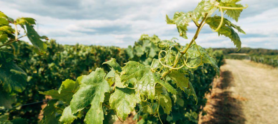 """Il 20% dei consumatori vuole il vino """"green"""", più attenzione a """"bollini"""" bio e di sostenibilità"""